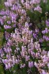 苏格兰石楠花 Heather